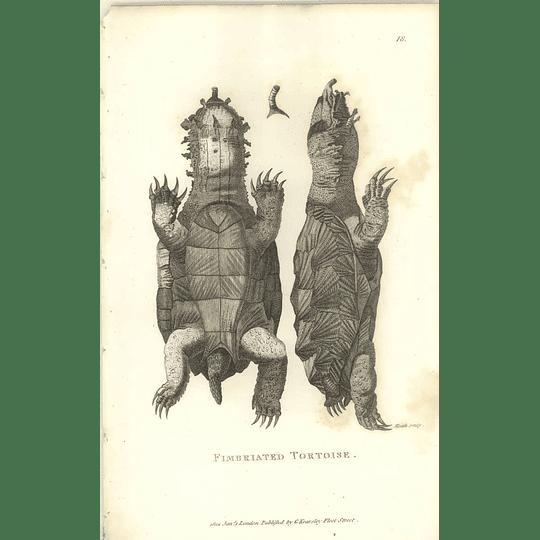 1802 Fimbriated Tortoise Shaw Amphibia Print