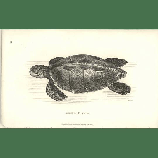 1802 Green Turtle Shaw Amphibia Print