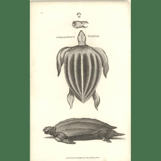 1802 Coriaceous Turtle Shaw Amphibia Print