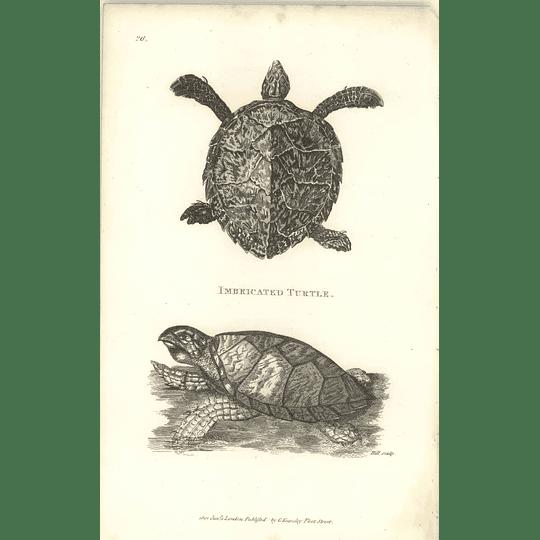 1802 Imbricated Turtle Shaw Amphibia Print