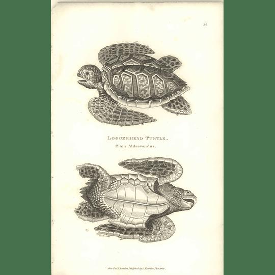 1802 Loggerhead Turtle From Aldrvandus Shaw Amphibia Print