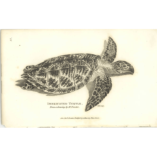 1802 Imbricated Turtle From A Drawing By Dr Forster Shaw Amphibia Print
