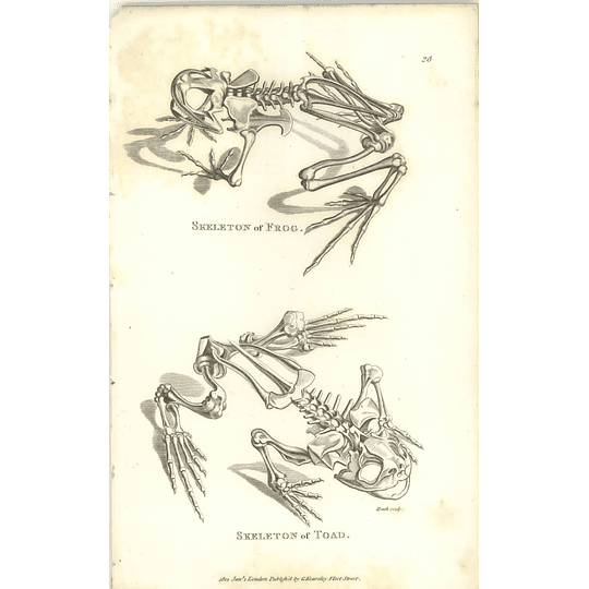 1802 Skeleton Of Frog And Toad Shaw Amphibia Print