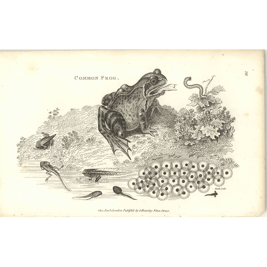 1802 Common Frog, Spawn And Tadpole Shaw Amphibia Print