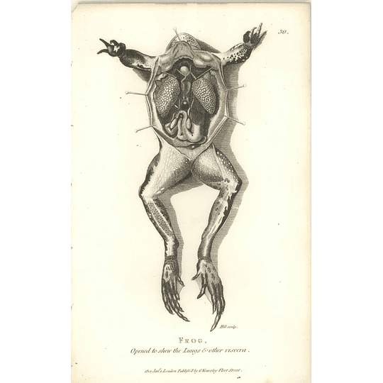 1802 Frog Dissected Open To Show Lungs And Viscera Shaw Amphibia Print