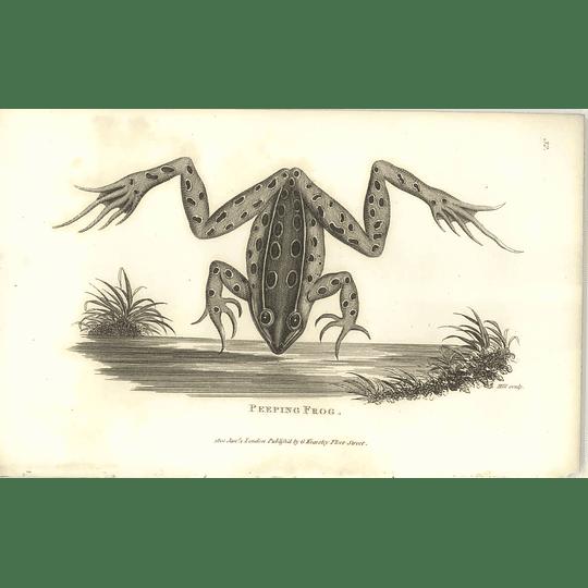1802 Peeping Frog Shaw Amphibia Print
