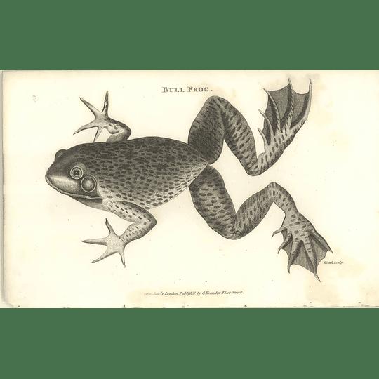 1802 Bull Frog Shaw Amphibia Print