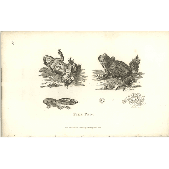 1802 Fire Frog Tadpole And Spawn Shaw Amphibia Print