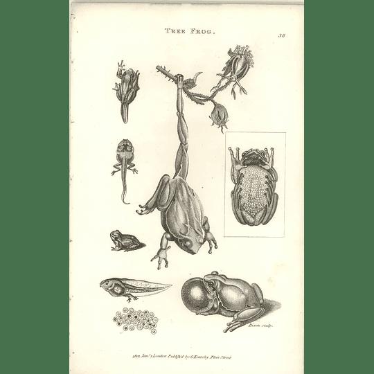 1802 Tree Frog Shaw Amphibia Print