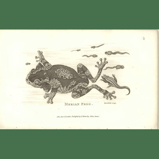 1802 Merian Frog Shaw Amphibia Print