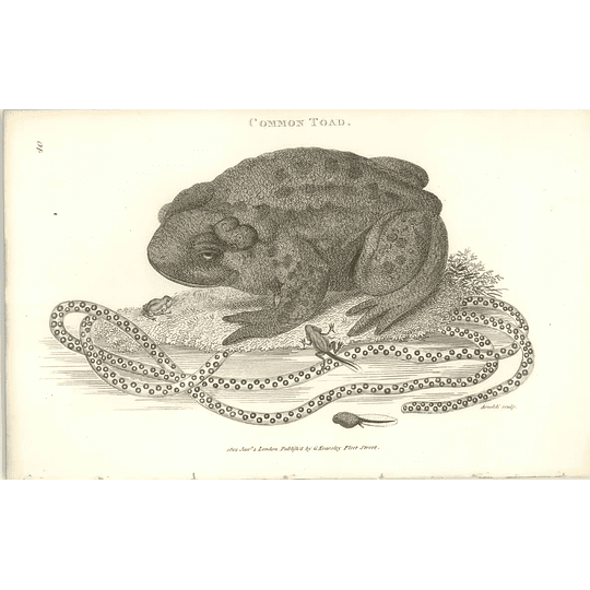 1802 Common Toad, Spawn And Tadpoles Shaw Amphibia Print