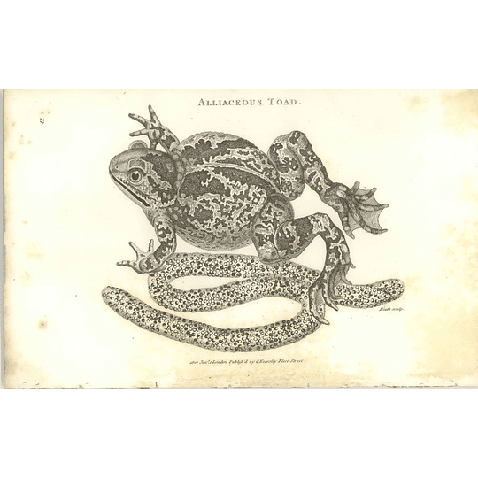 1802 Alliaceous Toad And Spawn Shaw Amphibia Print