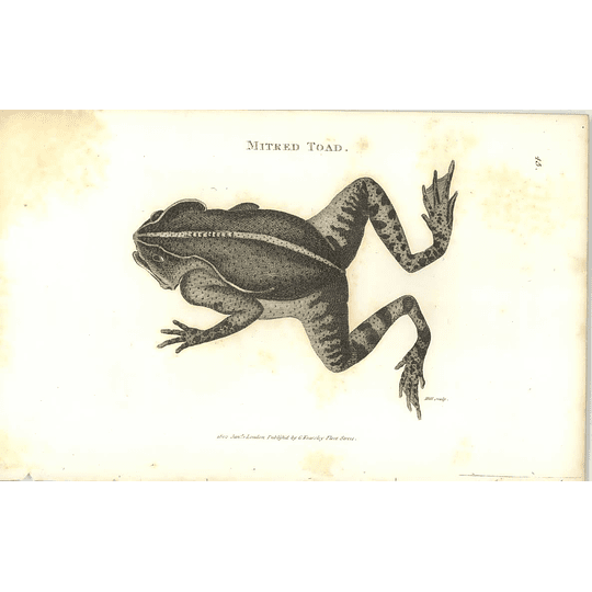 1802 Mitred Toad Shaw Amphibia Print