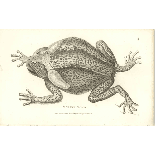 1802 Marine Toad Shaw Amphibia Print