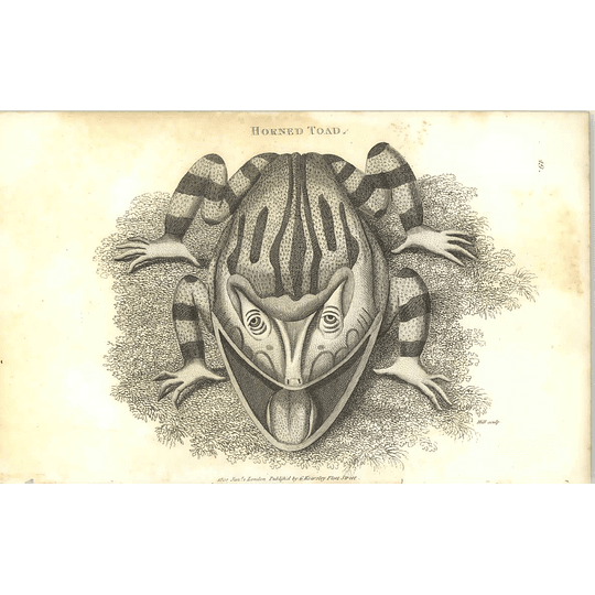 1802 Horned Toad 2 Shaw Amphibia Print