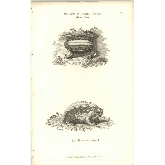 1802 Short Headed Toad And Le Bossu Shaw Amphibia Print