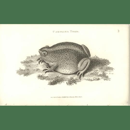 1802 Carolina Toad Shaw Amphibia Print