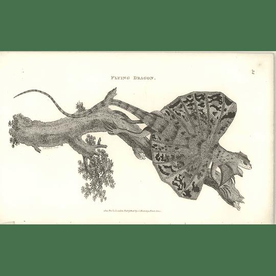 1802 Flying Dragon Shaw Amphibia Print