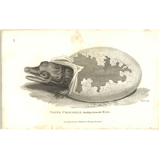 1802 Young Crocodile Hatching From The Egg Shaw Amphibia Print