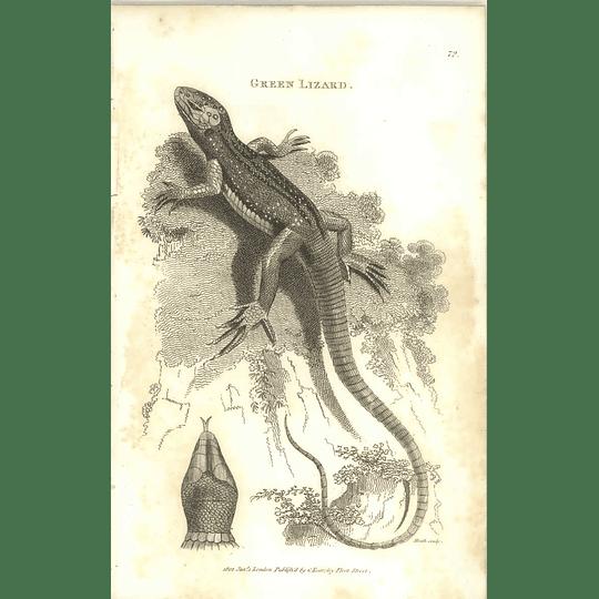 1802 Green Lizard Shaw Amphibia Print