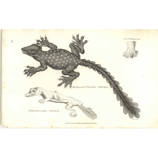1802 Scollop Tailed Gecko And Fimbriated Gecko Shaw Amphibia Print