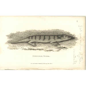 1802 Officinal Skink Shaw Amphibia Print