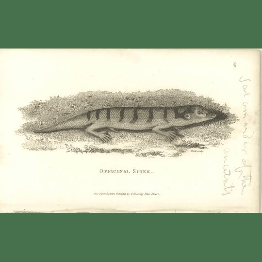 1802 Officinal Skink Shaw Amphibia Print