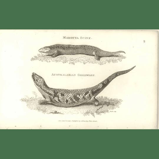 1802 Australasia Galliwasp And Mabouya Skink Shaw Amphibia Print