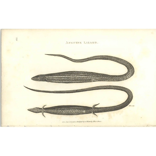 1802 Anguine Lizard Shaw Amphibia Print