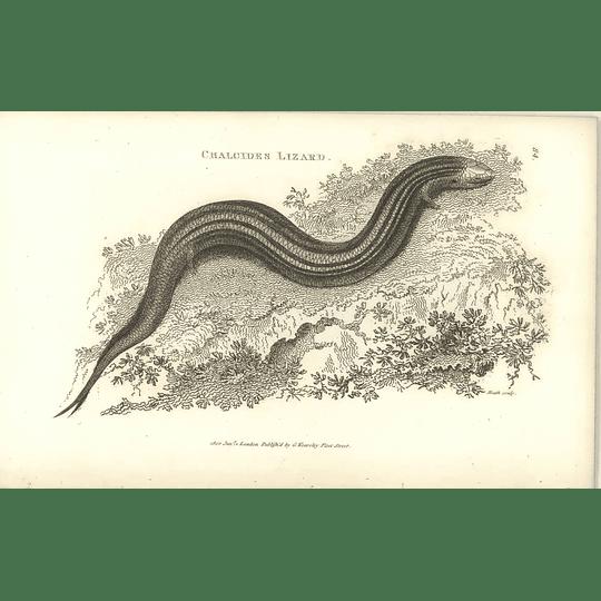 1802 Chalcides Lizard Shaw Amphibia Print