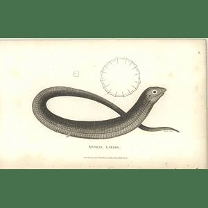 1802 Apodal Lizard Shaw Amphibia Print