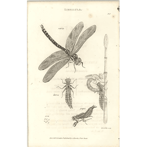 1803 Libellula Dragonfly Larva And Pupa Shaw, Griffiths Engraving