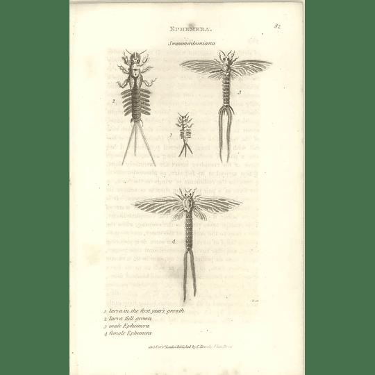 1803 Ephemera Swammerdamiana Male-female Larva Shaw, Griffiths Engraving