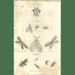 1803 Hemerobius Perla Chrysops Pectinicornis Shaw, Griffiths Engraving