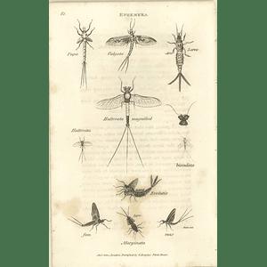 1803 Ephemera Pupa Larva Marginata Halerata Shaw, Griffiths Engraving