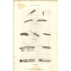 1803 Phryganea Arenaria Rhombica Grandis Shaw, Griffiths Engraving