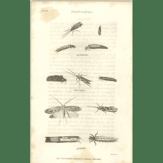 1803 Phryganea Arenaria Rhombica Grandis Shaw, Griffiths Engraving