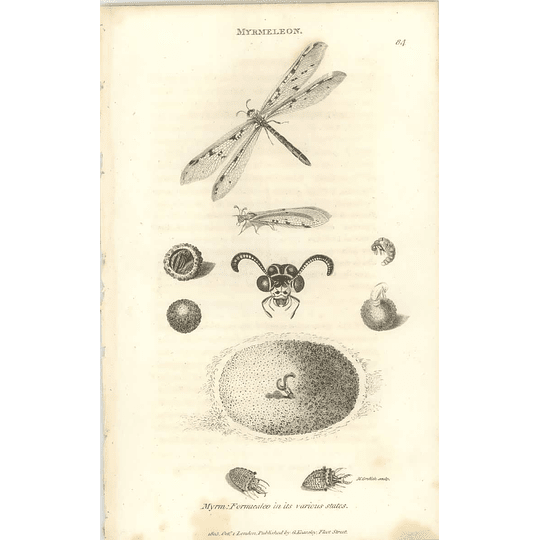 1803 Myrmeleon Formicaleo Is Various States Shaw, Griffiths Engraving