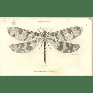 1803 Myrmeleon Grande Wingspan Shaw, Griffiths Engraving