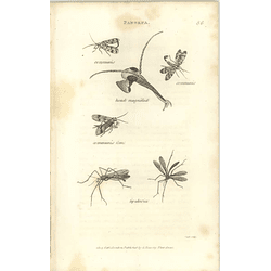 1803 Panorpa Head Magnified Communis Tipularia Shaw, Griffiths Engraving