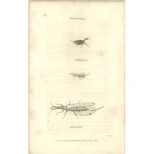 1803 Raphidia Magnified Shaw, Griffiths Engraving