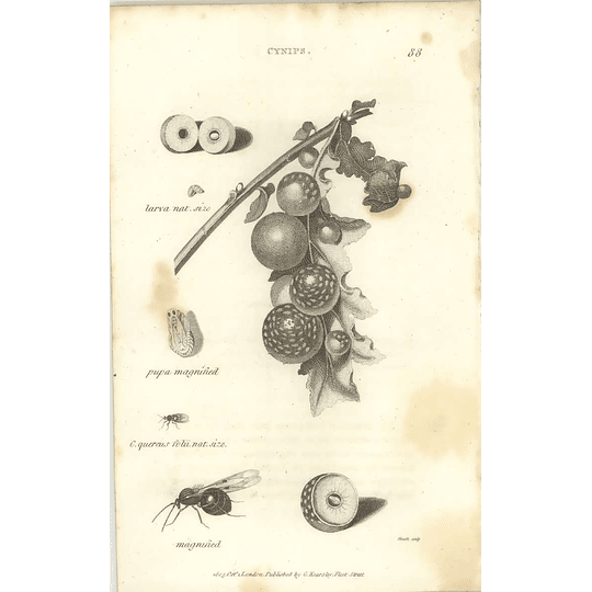 1803 Cynips Pupa Magnified And Natural Oak Gall Shaw, Griffiths Engraving