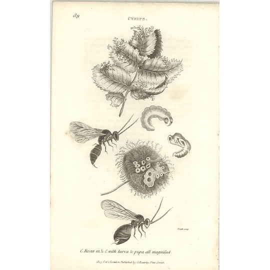 1803 Cynips Rosoe Male Female With Larvae Shaw, Griffiths Engraving
