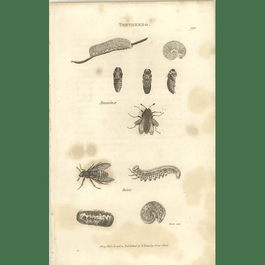 1803 Tenthredo Amerinoe Lutea Shaw, Griffiths Engraving