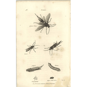 1803 Sirex Gigas Pupa Larva Shaw, Griffiths Engraving