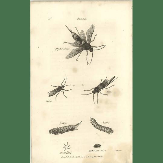 1803 Sirex Gigas Pupa Larva Shaw, Griffiths Engraving
