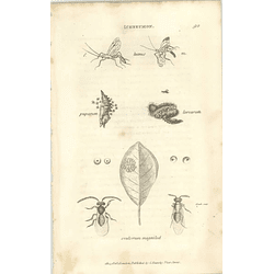 1803 Ichneumon Luteus Ovulorum Magnified Shaw, Griffiths Engraving