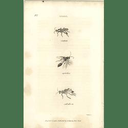 1803 Sphex Viatica, Spirifex, Sabulosa Shaw, Griffiths Engraving