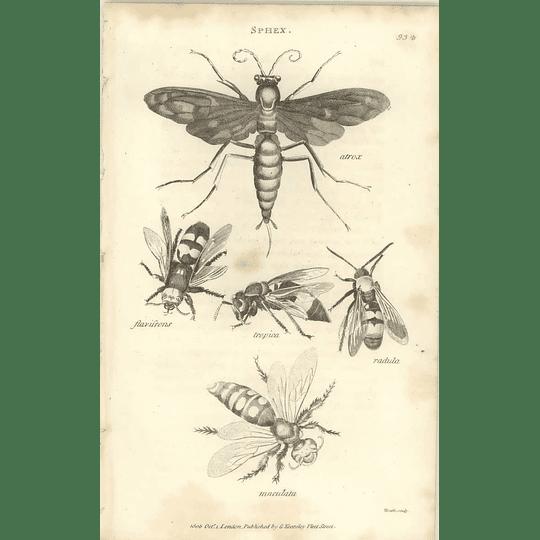1803 Sphex Atrox, Topica, Radula, Flavifrons, Maculata Shaw, Griffiths Engraving