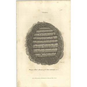 1803 Vespa Wasp Nest 1/4 Size Shaw, Griffiths Engraving